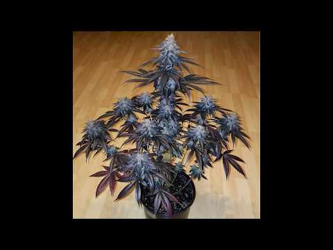 Ep #60 How To Grow Indoor Cannabis  Step by Step Ch Using  T5 & MH/HPS From Seed To Harvest