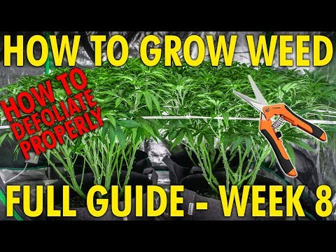 How to Lollipop to Increase Flower Size – Cannabis Grow Guide Week 8