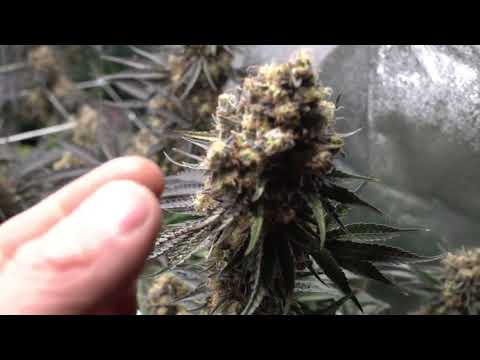 One Light  One plant   Harvest   Personal Medical Grow