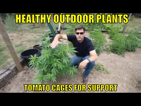 HEALTHY OUTDOOR CANNABIS PLANTS. TOMATO CAGES ON CANNABIS PLANTS OUTSIDE.