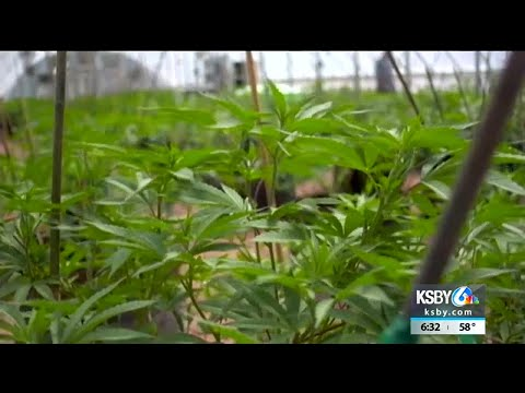 Central Coast voters approve cannabis business taxes