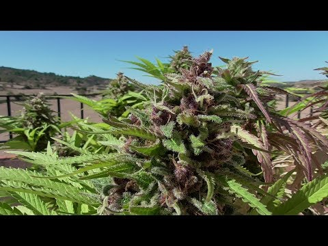 GROWING CANNABIS OUTDOORS AND OFF THE GRID #14