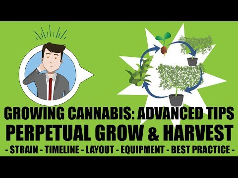 Cannabis Perpetual Harvest Setup Guide – Growing Cannabis 201 – Advanced Grow Tips