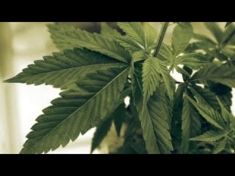 Marijuana shortage in Canada