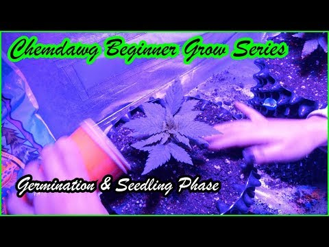 ChemDawg Beginner Cannabis Grow Series: Germination & Seedling Stage