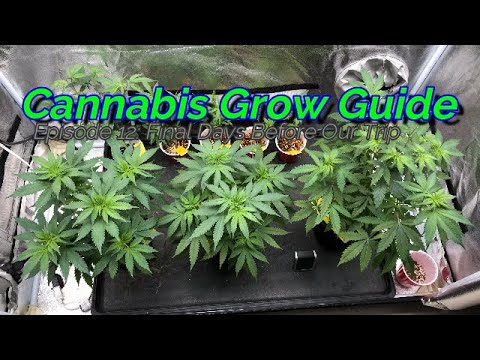 Cannabis Grow Guide Ep  12 Final Days Before Our Trip