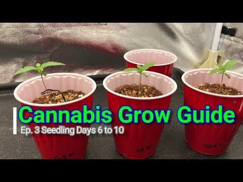 Cannabis Grow Guide How to Grow Series: Ep. 3 Medical Marijuana Seedlings Days 6 to 10