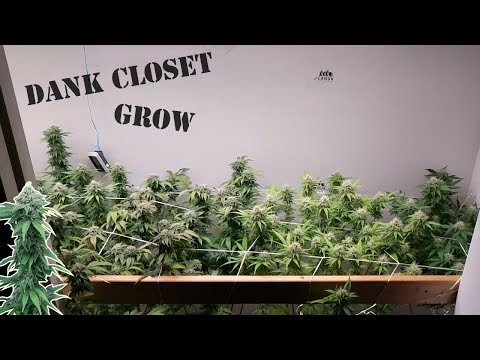 ORGANIC CANNABIS GARDENING. VEG & FLOWER INDOOR HOME GROW.