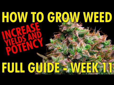 When to Harvest Cannabis Plants (Increase Potency and Yields) Cannabis Grow Guide