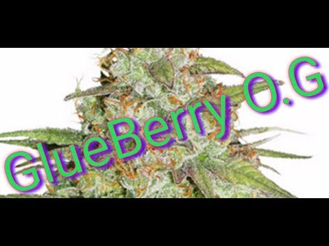 NEW CANNABIS STRAIN REVIEW UK(GLUE BERRY O.G) THREE hybrid STRAINS IN ONE