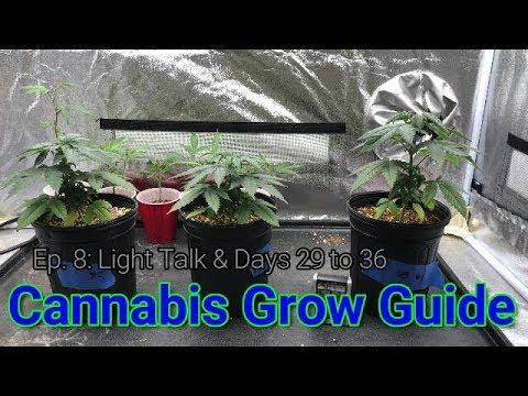Cannabis Grow Guide Ep. 8: Basics of Cannabis Lighting, Days 29 to 36.