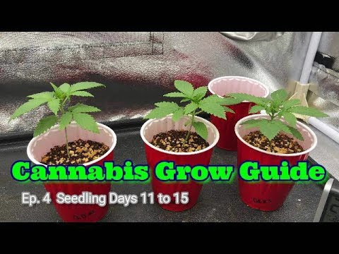 How To Grow Series Seedlings Days 11 Through 15. Cannabis Grow Guide Ep. 4