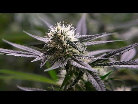 Cannabis investors prepare for legalization