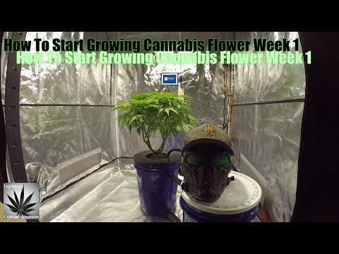 How To Start Growing Cannabis Flower Week 1