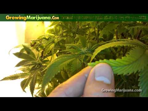 Touching Your Cannabis Plant Leaves to Feel for Sick Ladies