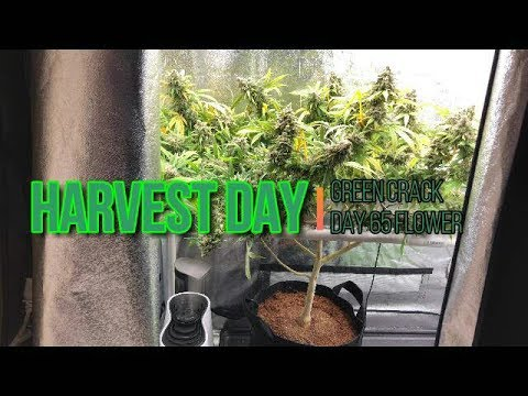 Green Crack Medical Cannabis Harvest. Super Frosty LED Grown Buds