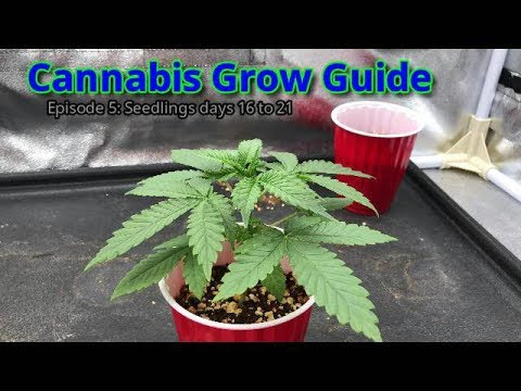 Cannabis Seedlings Days 16 through 21. Cannabis Grow Guide Ep: 5