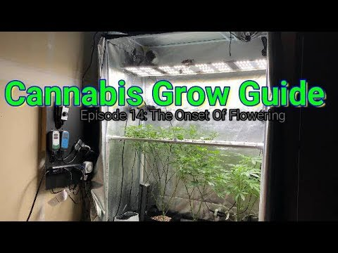 Cannabis Grow Guide Ep. 14 The Onset of Flower