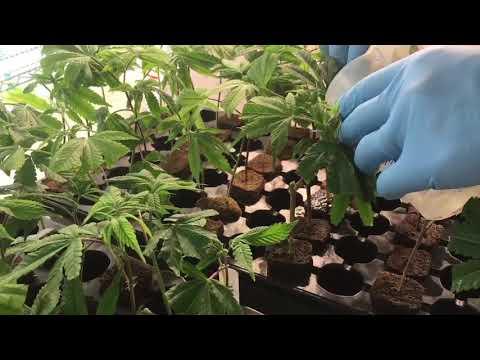 Inside Michigan's first medical marijuana mega grow operation