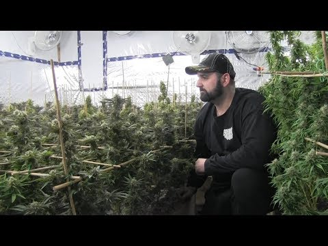 Craft growers will add to recreational market: Cannabis producer