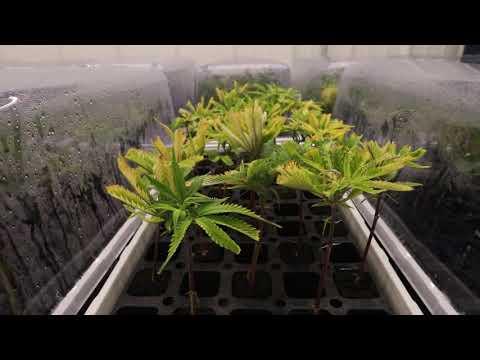 Green Peak Innovations to be largest medical marijuana grower in Michigan