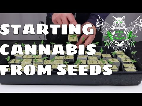 Growing Cannabis from Seeds | Documentary On How to Grow Marijuana at Home | Increased Yield