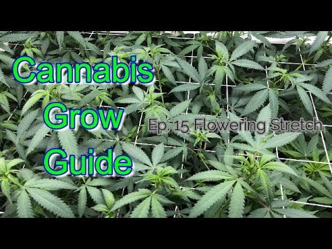 Cannabis Grow Guide Ep. 15 Flowering Stretch