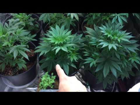 Indoor led cannabis perpetual growing 4×4 gorilla tents