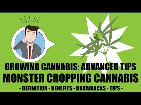 Monster Cropping, Cloning During Flowering Stage – Growing Cannabis 201: Advanced Grow Tips