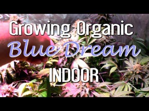 Indoor Organic Blue Dream