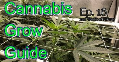 Cannabis Grow Guide Ep  16 Second Week of Flower