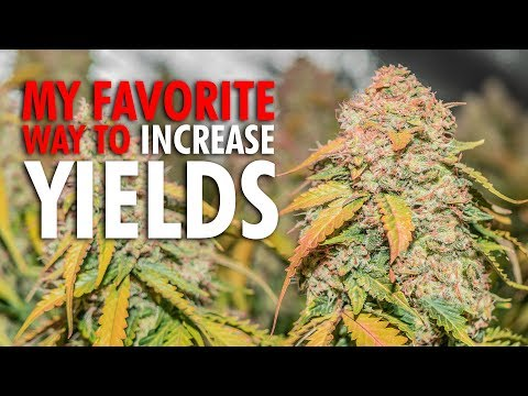 My Favorite Way to Increase Plant Yields – Home Grown Marijuana