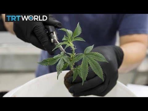 Cannabis sector poised for major growth   Money Talks
