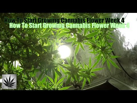 How To Start Growing Cannabis Flower Week 4
