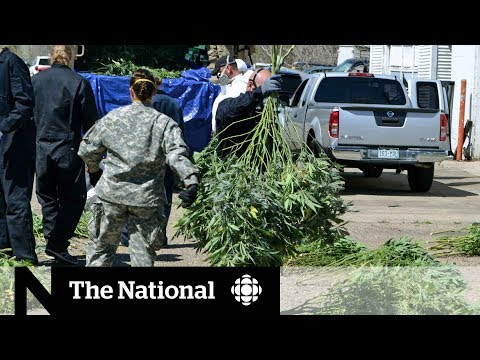 Black market for pot growing despite legalization in Colorado