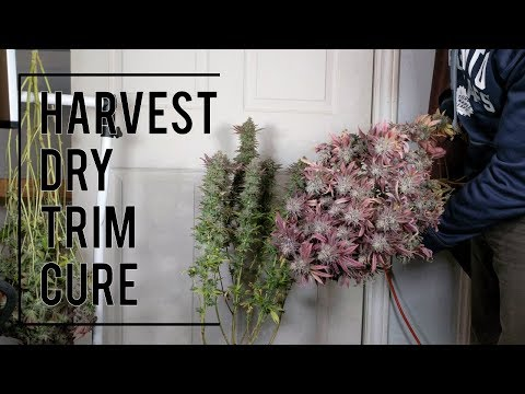 ORGANIC CANNABIS HARVEST. FULL PROCESS: DRYING, TRIMMING, CURING