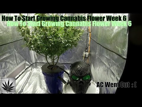 How To Start Growing Cannabis Flower Week 6