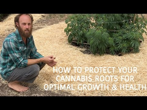 How to Protect Your Cannabis Roots For Optimal Growth and Health