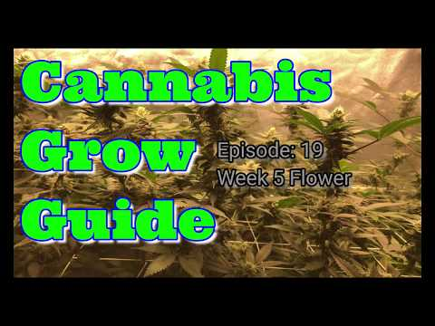 Cannabis Grow Guide Ep. 19 Medical Cannabis Grow Week 5 Flower