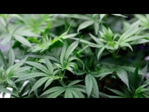 Recreational marijuana use causing crime increase in Colorado: El Paso County DA