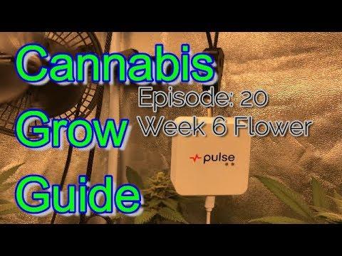 Cannabis Grow Guide Ep. 20 Gorilla Glue #4 x THC Bomb Insanely Frosty Gorilla Bomb Bud Porn
