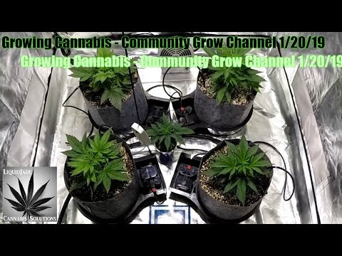 Growing Cannabis  – Community Grow Channel 1-20-19