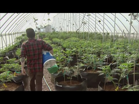 Reality Check: Legalizing Marijuana In Minnesota