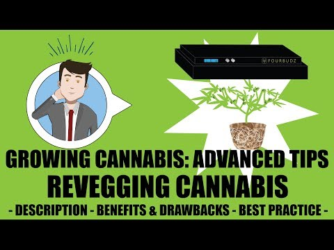 ReVegging A Harvested Cannabis Plant Tutorial – Growing Cannabis 201: Advanced Grow Tips