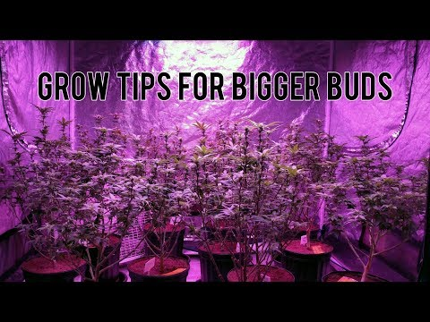 GROW BIGGER BUDS: LEAF STRIPPING (BEFORE & AFTER RESULTS), TOPPING AND TRANSPLANTING CANNABIS