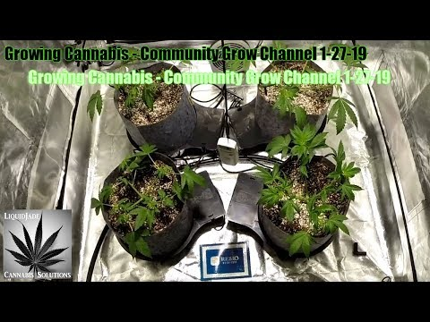 Growing Cannabis  – Community Grow Channel 1/27/19
