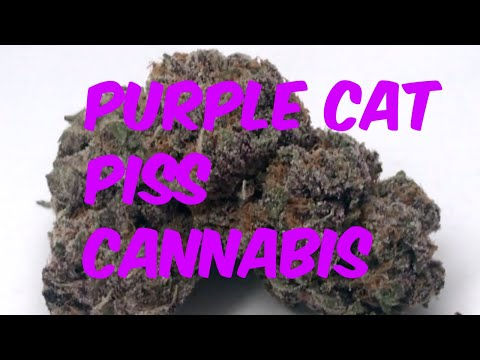 Purple Cat Piss Cannabis Marijuana Weed Strain Review
