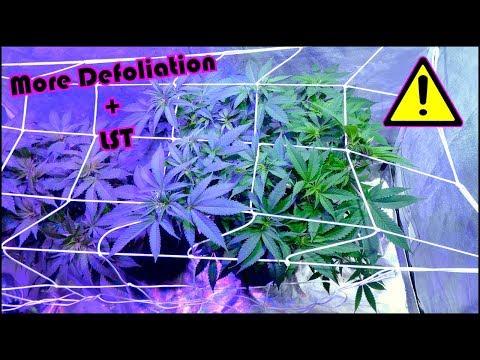 Chemdawg Beginner Grow Series: Week 5 of Vegetation + More Defoliation!