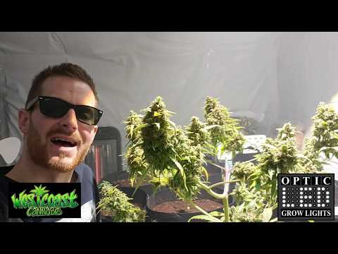 Harvesting amazing quality Cannabis – Glueberry OG – Grown under Optic1 – Smoke Sesh – PAX3 (4KHD)