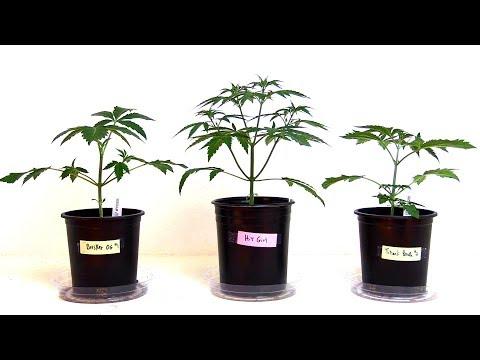 WEEKS 2-6 GROWING CANNABIS INDOORS! – PLANT TRAINING